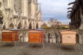 Les quelque 200.000 abeilles des ruches de Notre-Dame ont survécu