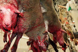 Elections européennes : cinq listes s'engagent sur l'abattage sans étourdissement