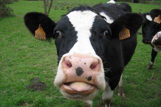Un agriculteur condamné à cause du meuglement de ses vaches