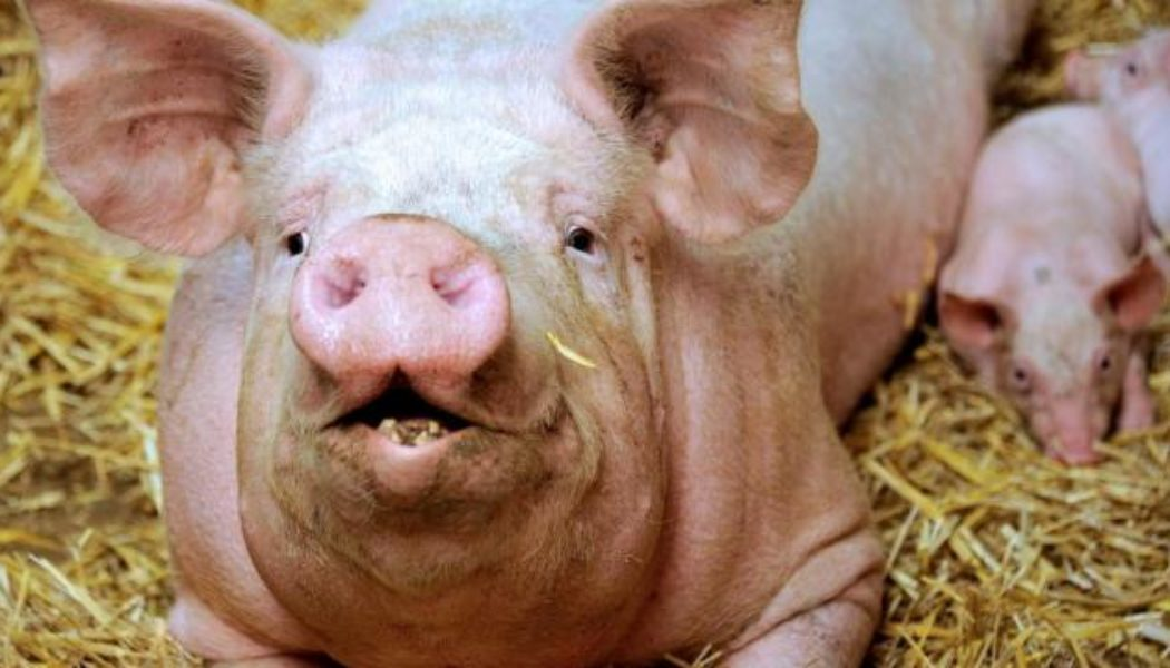 Embryons hybrides homme-animal : épargnez les animaux !