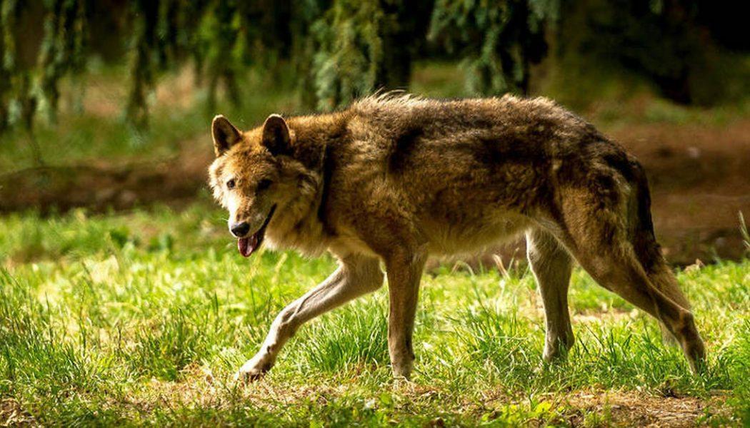 Le berger, son chien et le loup