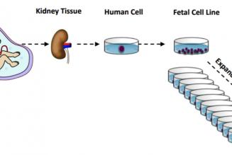 Utilisation des lignées cellulaires issues de fœtus avortés dans le cadre du développement de vaccins contre la Covid-19