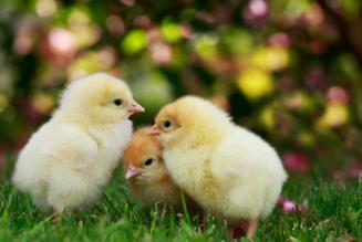 En France, les poussins sont mieux protégés que les enfants à naître